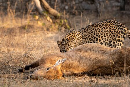 Indian Leopard or Panther with blue bull nilgai kill. Early morning Wildlife scene Leopard hunting largest Asian antelope in dry deciduous Forest at Ranthambore National Park India - Panthera pardus fusca Stock Photo