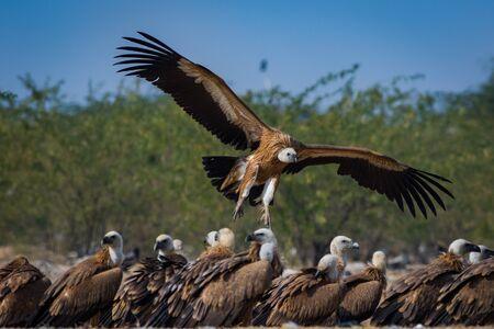 Buitre leonado o leonado leonado o Gyps fulvus en vuelo con la cabeza en vuelo en un hermoso fondo verde en la reserva de conservación jorbeer, bikaner, rajasthan, india Foto de archivo