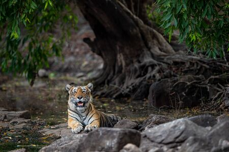 Ranthambore Legendary tigress krishna or T19 resting on rocks near water with beautiful surrounding in jungle. Canvas painting image at Ranthambore national park tiger reserve, india - panthera tigris