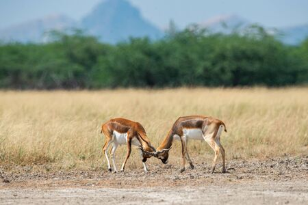 Antelope Blackbucks fighting with horns showing dominance in open grass field and green background scenic landscape and skyline at tal chhapar sanctuary, churu, rajasthan, india - Antilope cervicapra Stock Photo