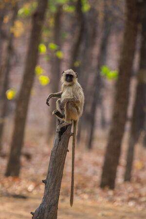 Gray langur, sacred langur, Indian langur or Hanuman langur, Old World monkey perched on a dead tree trunk with a beautiful sal tree background at Bandhavgarh National park, madhya pradesh, india Stock Photo