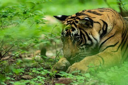 Tête de tigre mâle sauvage en vert mousson au parc national de Ranthambore, Inde - Panthera tigris tigris
