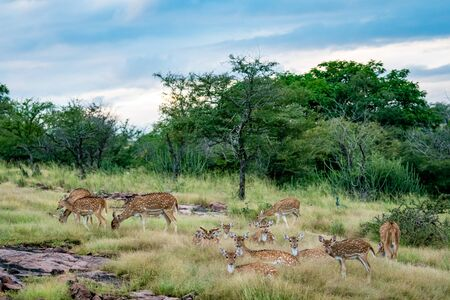 Wildlife scenery of ranthambore landscape with spotted deer or chital herd, dramatic blue sky with clouds and green background on evening jungle safari at Ranthambore National Park, Rajasthan, india