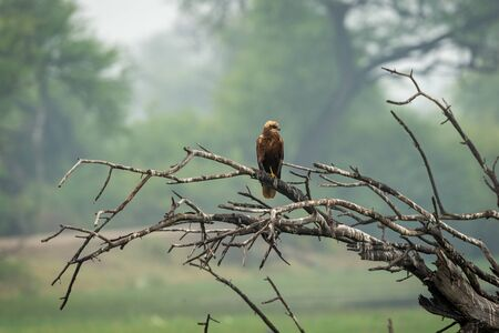 western marsh harrier or Circus aeruginosus a large harrier perched on tree trunk with scenic green background at keoladeo national park, bharatpur, rajasthan, india Stockfoto