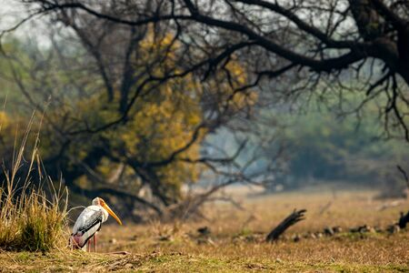 painted stork or Mycteria leucocephala in landscape of keoladeo national park with copy space and colorful scenic background at bharatpur bird sanctuary, rajasthan, india