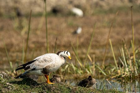 bar headed goose close-up image at keoladeo national park or bird sanctuary, bharatpur, rajasthan, india - anser indicus