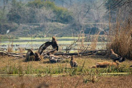 steppe eagle flock showing dominance on each other and eastern imperial eagle with aggressively and angry expressions on spotted deer kill at keoladeo national park or bharatpur bird sanctuary, india