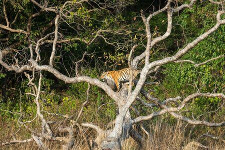 playful tiger cub on dead tree trunk at dhikala zone of jim corbett national park or tiger reserve, uttarakhand, india - panthera tigris