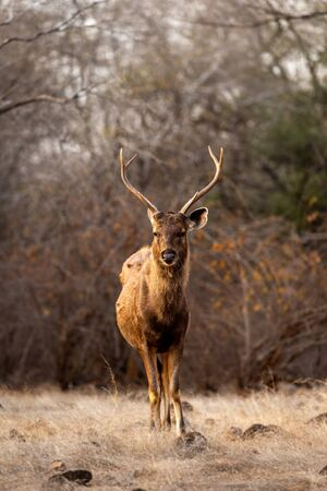 Male Sambar deer or Rusa unicolor head on with long horn or stag with an eye contact at ranthambore national park or tiger reserve, rajasthan, india