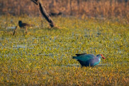 Western swamphen or Purple Moorhen or Porphyrio porphyrio in green grass background at keoladeo national park or bharatpur bird sanctuary, rajasthan, india