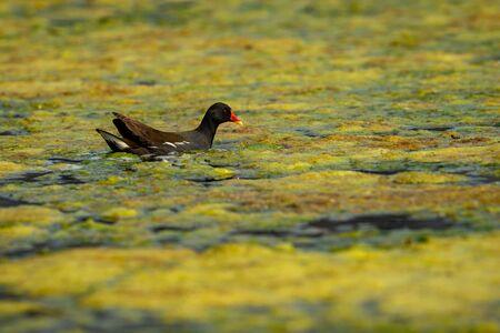 common moorhen or gallinula chloropus bird in wetland of keoladeo national park or bharatpur bird sanctuary, rajasthan, india