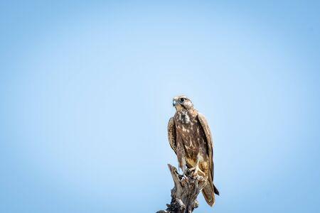 Laggar falcon or Falco jugger a winter migratory bird of prey perched on dry tree and blue sky background at tal chhapar sanctuary, churu, rajasthan, india Banco de Imagens