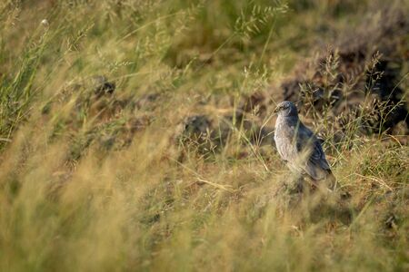 Montagu harrier male or Circus pygargus ground perched in green grass or meadow during winter migration at tal chhapar sanctuary churu rajasthan india