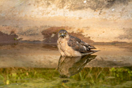 Shikra or Accipiter badius or little banded goshawk quenching thirst with reflection in water. An angry looking bird or prey during winter migration at jhalana leopard reserve jaipur rajasthan india Standard-Bild