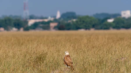 Montagu harrier female or Circus pygargus perched in dry open plains with meadow during winter migration and scenic landscape view at tal chhapar sanctuary churu rajasthan india