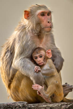 Mother loving her baby. Rhesus macaque or Macaca mulatta monkey mother and baby in cuddling moment Stock fotó