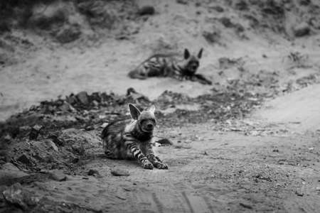 black and white portrait of Striped hyena or Hyaena hyaena on forest track during safari at ranthambore national park rajasthan india Stock Photo