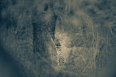 fine art image of wild male leopard or panther in jungle at jhalana forest reserve or leopard reserve jaipur rajasthan india - panthera pardus fusca
