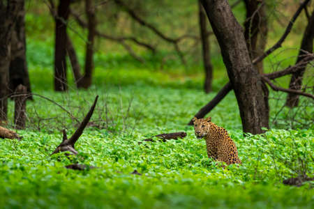 Wild female leopard or panther in natural green background in monsoon season safari at jhalana leopard or forest reserve jaipur rajasthan india - panthera pardus Stock Photo