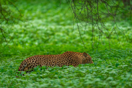 wild male leopard walking in natural green grass during monsoon season safari in central india forest - panthera pardus fusca Stock Photo