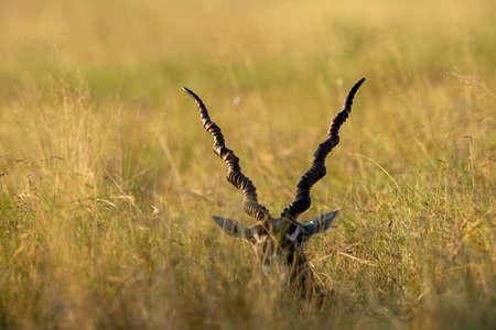 long horns of blackbuck or Antilope cervicapra in open grassland of tal chhapar sanctuary rajasthan india