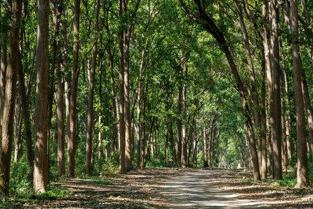 Scenic road with canopy of tall and long sal trees at dhikala jim corbett national park or tiger reserve uttarakand india - Shorea robusta Standard-Bild