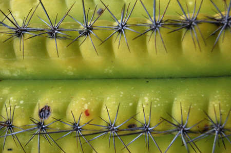 apparent: Close-up of a cactus plant. Thorns creating an apparent path. Stock Photo
