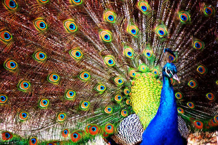 The beauty of imperfection. A peacock shows its feathers - only to find a whole in the fan shape. photo