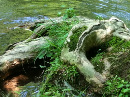 Twisted tree roots on the Little Pigeon River