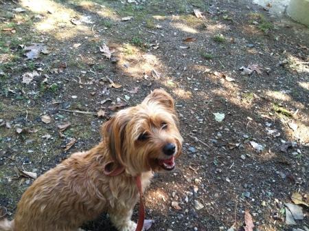 otganimalpets01: Little Norfolk Terrier