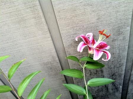 stargazer lily: Stargazer lily Stock Photo