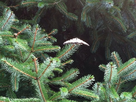 Monarch butterfly resting in a fir tree Imagens