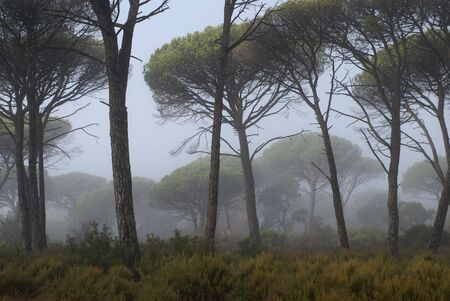Image of a pines tree in a mediterranean forest surrounded by fog , soon in the morning. Reklamní fotografie