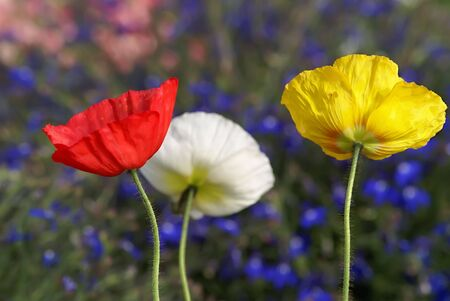 3 colored poppies under a field of flowers Reklamní fotografie