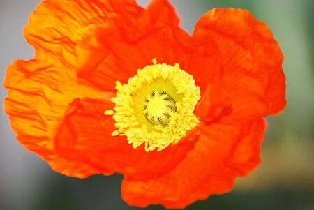 Close up of a poppy,Kingdom:Plantae,Division:Magnoliophyta,Class:Magnoliopsida,Order:Papaverales,:Papaveraceae,Genus:Papaver,Species:P. rhoeas,Papaver rhoeas, Stock Photo - 3544170