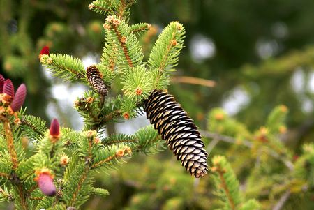 pinaceae: Pinaceae cones  containing the reproductive structures of the tree. The picture show both male and female cones.