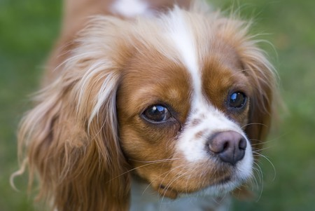cuntry: Close view of a Cavalier King Charles Spaniel. Origin cuntry  :  England Stock Photo