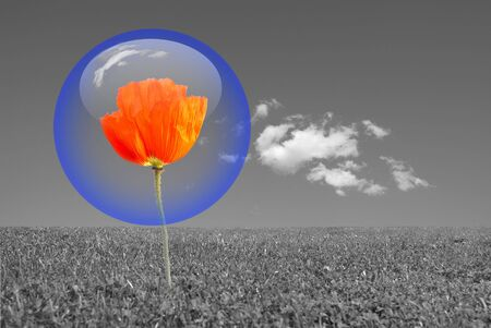 Red poppy protected by a blue bubble in a grey environment . Nature protection concept.