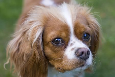 Close view of a Cavalier King Charles Spaniel. Origin cuntry  :  England Stock Photo