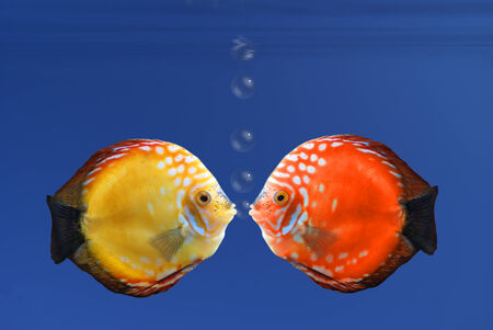 reddening: Shy fish reddening after a kiss - illustration Stock Photo