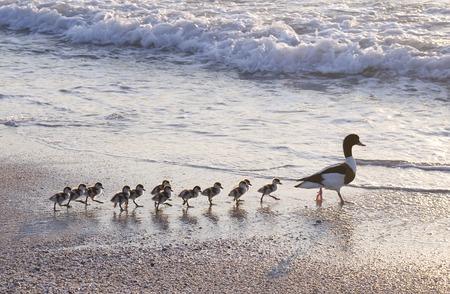 fila: Familia de patos caminando en línea recta frente al mar.
