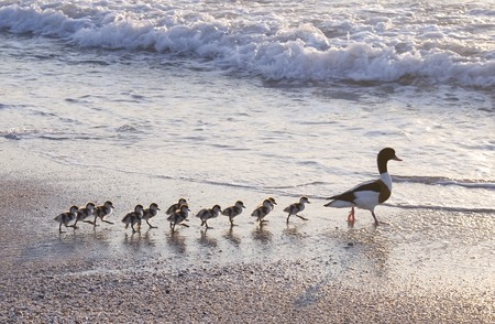 duck: Family of ducks walking a straight line in front of the sea. Stock Photo