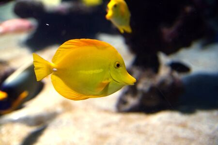 Zebrasoma flavescens, yellow surgeonfish. Bright yellow  coral reef fish in salt water