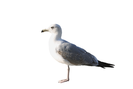 Isolated mediterranean seagull on white background