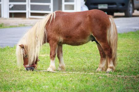 mini farm: Mini dwarf horse eating grass in a pasture at a farm Stock Photo