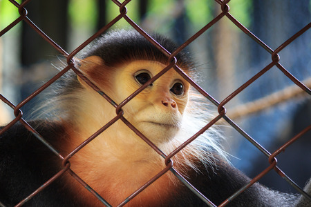 lockup: Sad Red-shanked Douc behind the Cage