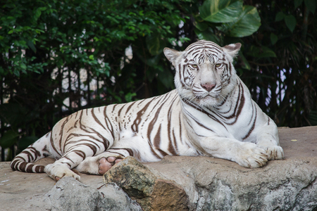 Stare of a severe Siberian Tiger, The most dangerous beast shows his calm greatness. Wild beauty of a severe big cat. Stock Photo