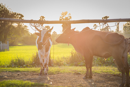 isaan: Thai cows in field at thailand