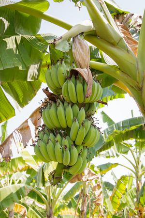 tree vertical: Bananas on the tree. Vertical shot, selective focusing.