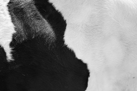cowhide: real black and white cowhide Stock Photo